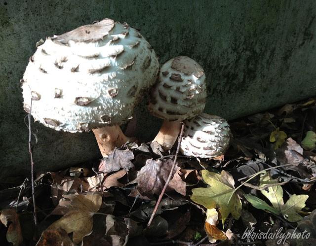 photo_68_parasol_mushroom