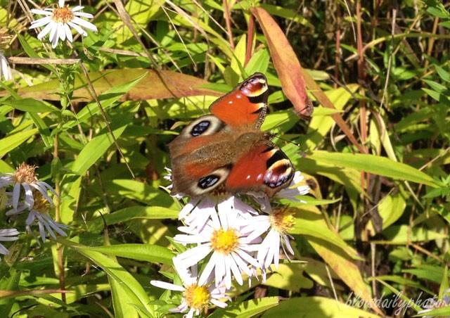 photo_79_orange_butterfly