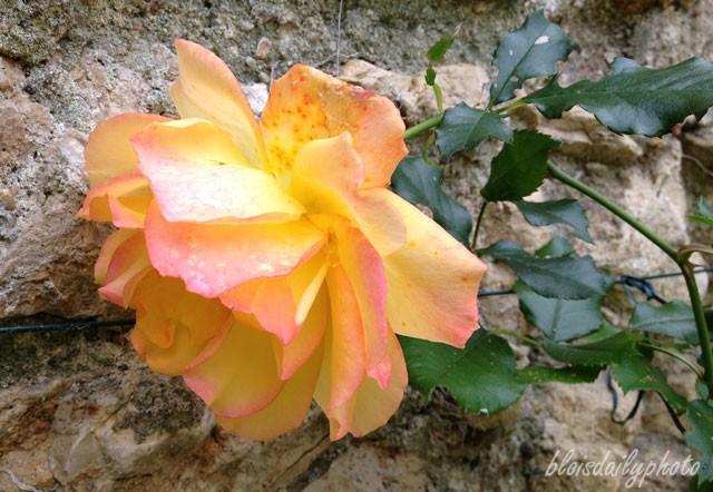 photo_81_saharan_rose