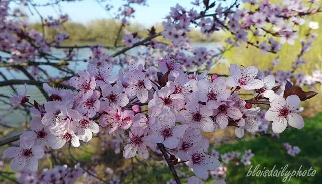 photo_68_fleurs_de_prunus