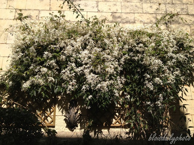 photo_76_clematis_amandii