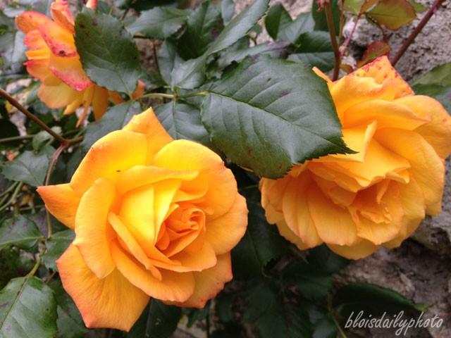 photo_151_saharan_roses