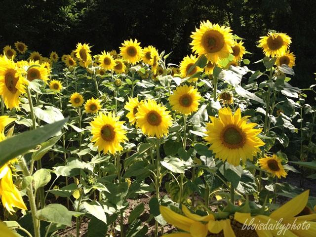 photo_176_sunflowers