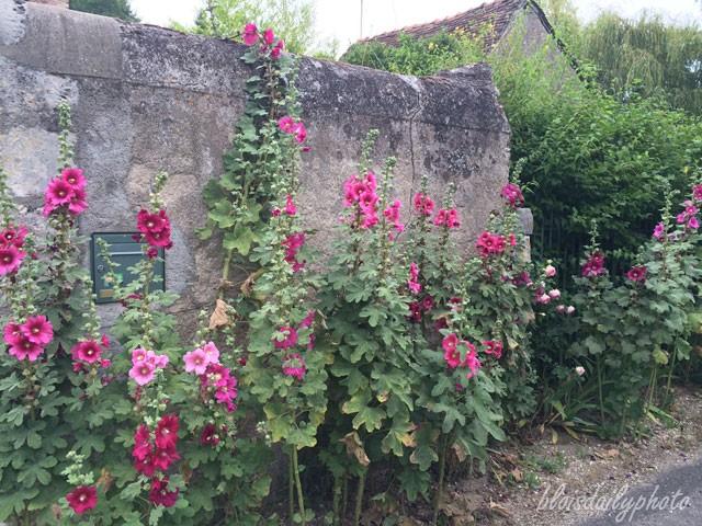 photo_191_hollyhocks_roses