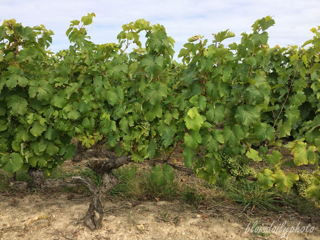 photo_225_chenin_blanc_vouvray