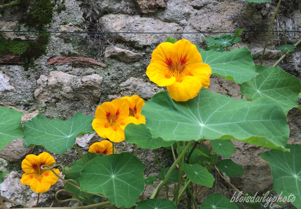 photo_280_autumn_nasturtiums