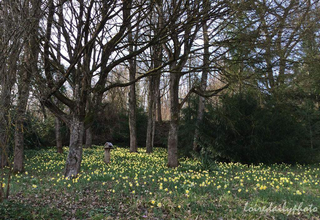 photo_66_host_daffodils