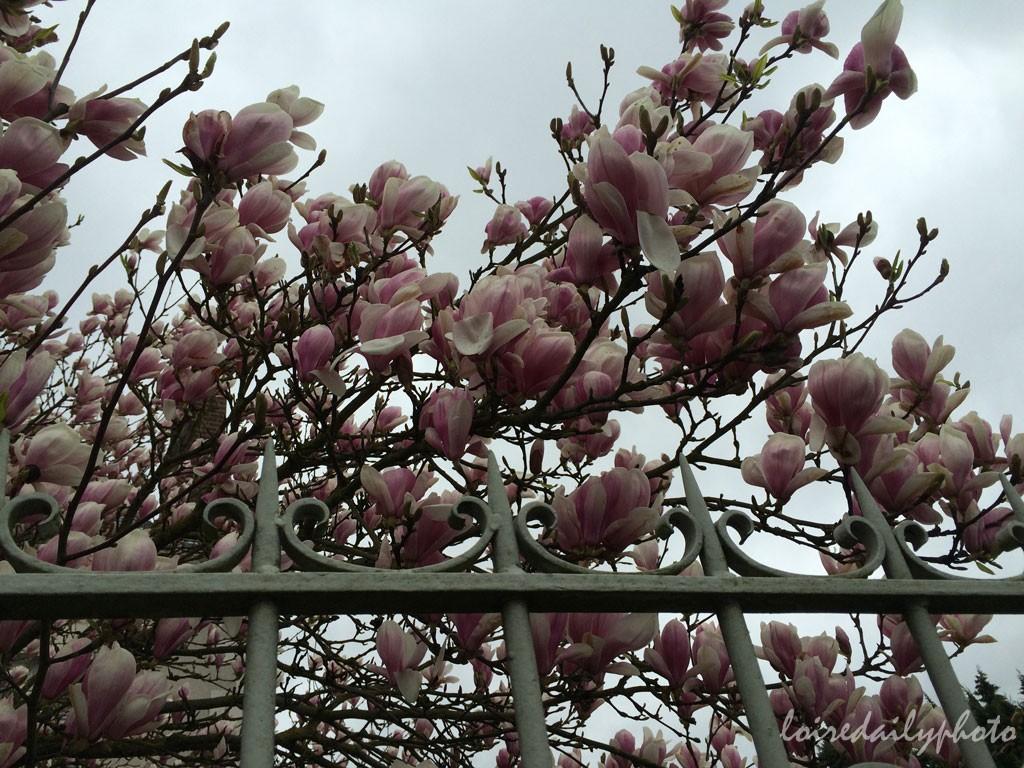 photo_81_magnolias