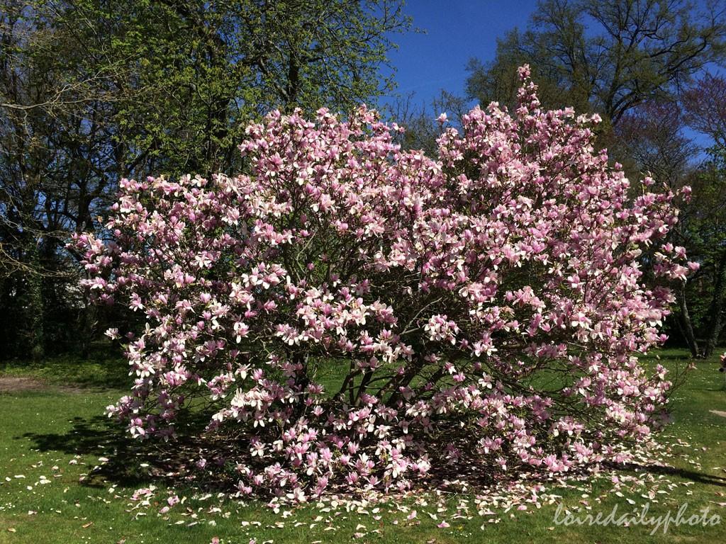 photo_100_magnolia_cheverny