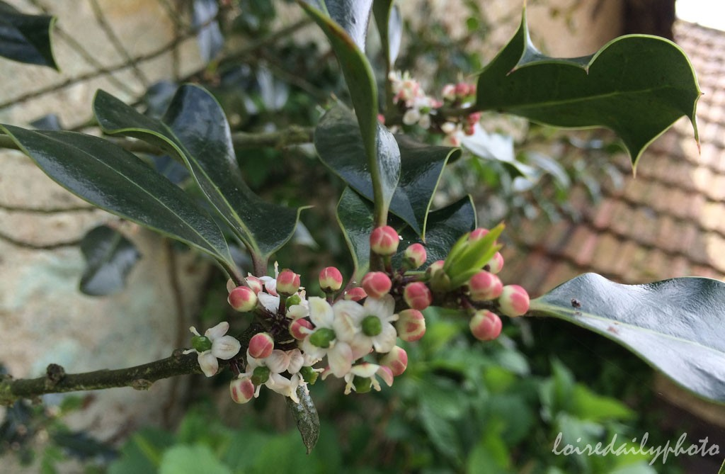 photo_109_holly_flowers