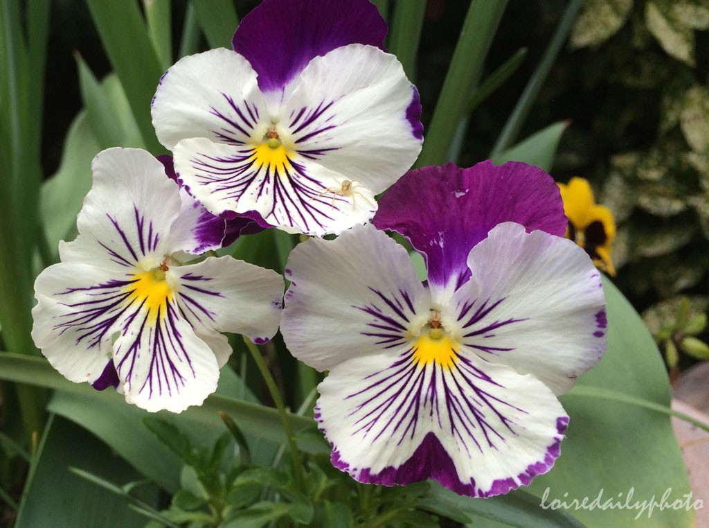 photo_109_pansies
