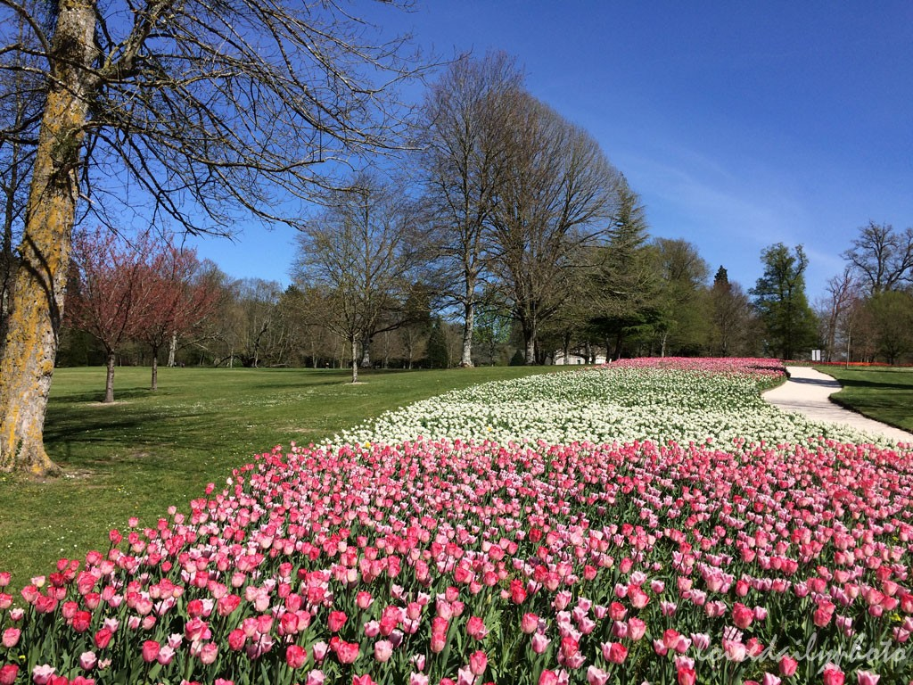 photo_96_river_tulips_pink