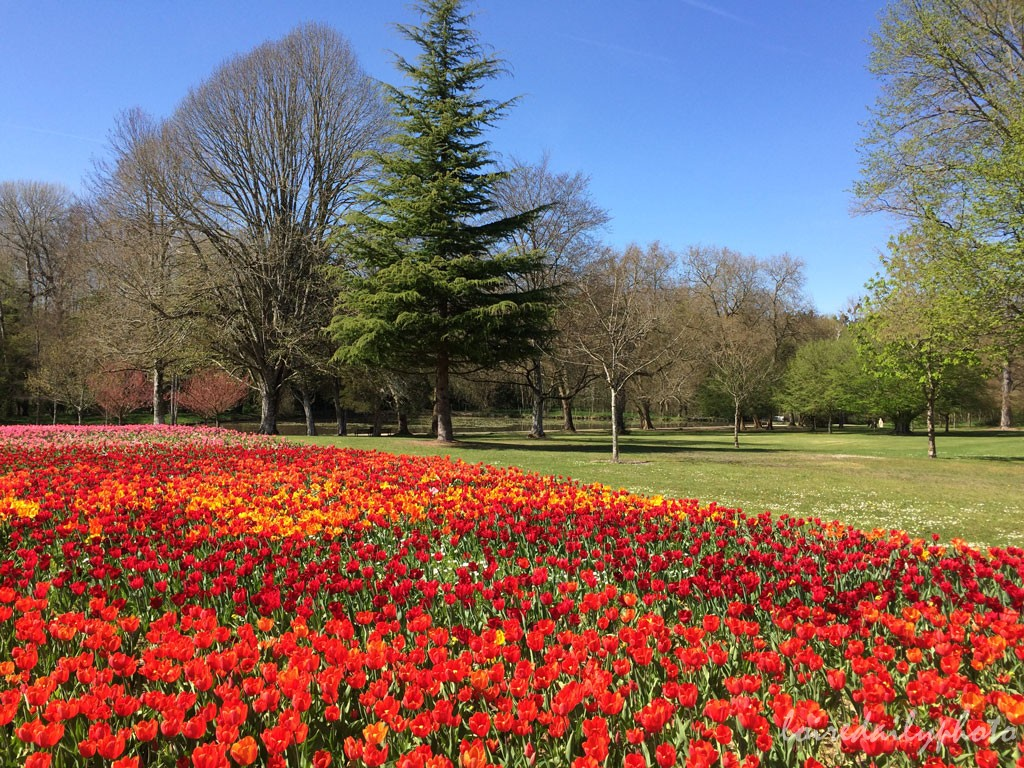 photo_96_river_tulips_red_yellow