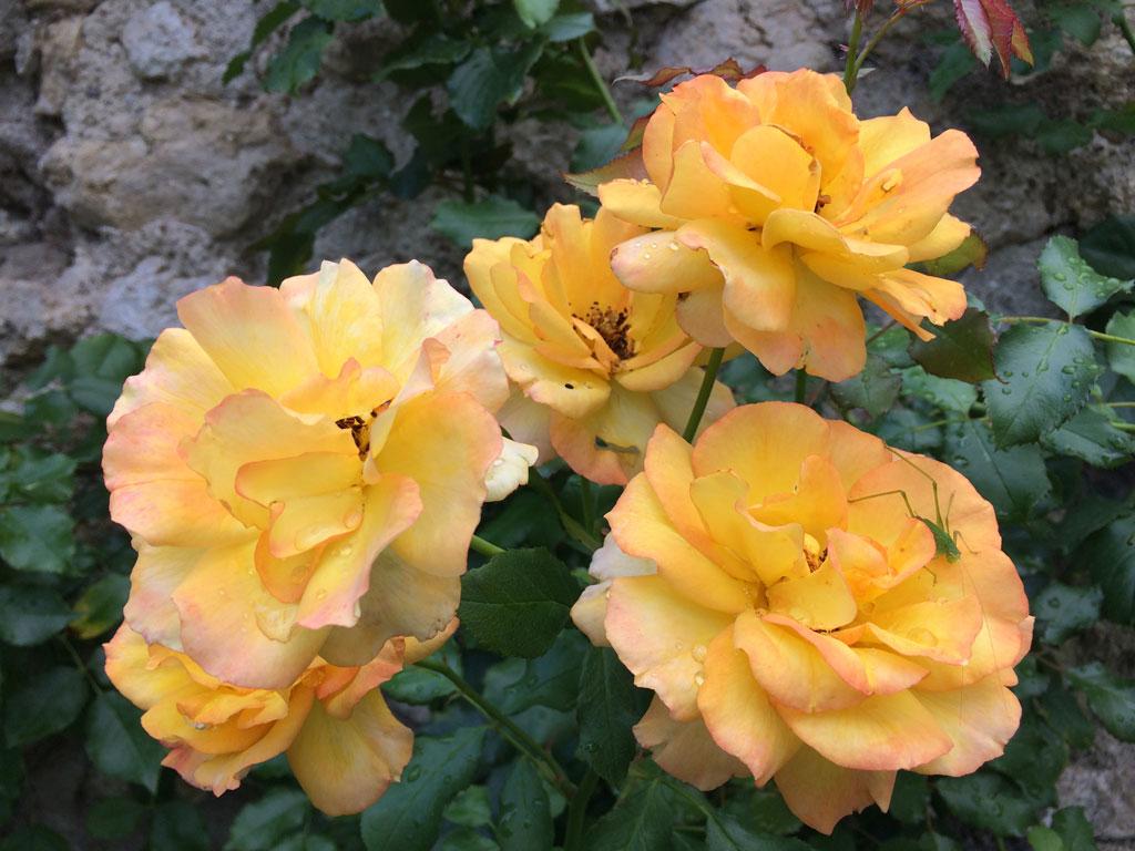 photo_192_grasshopper_roses