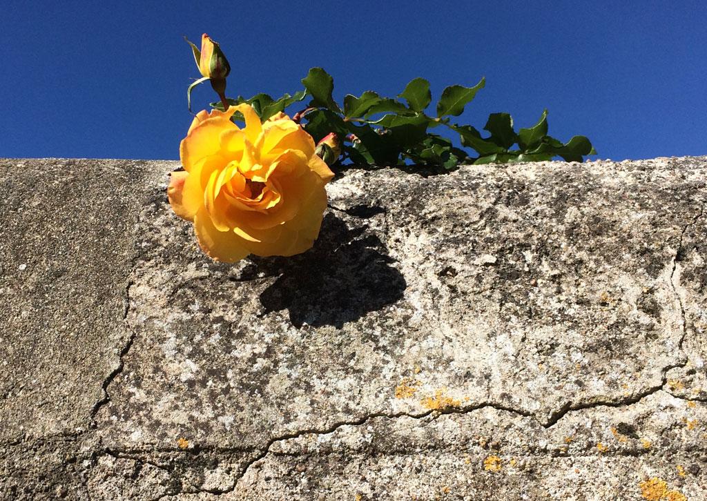 photo_315_yellow_rose