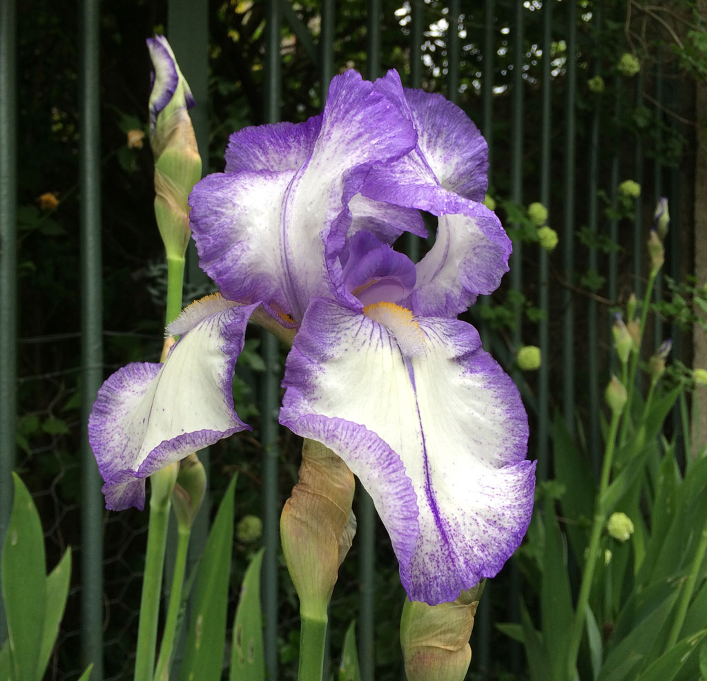 photo_83_purple_iris