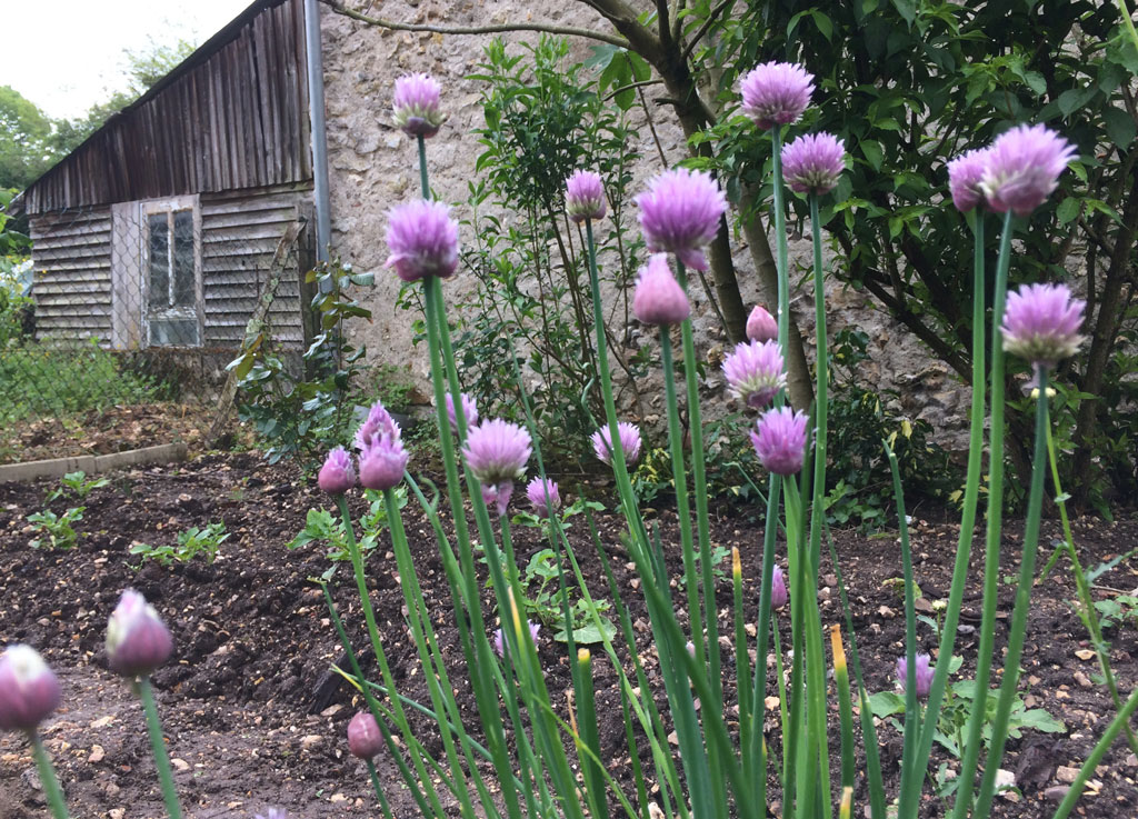photo_86_flowering_chives
